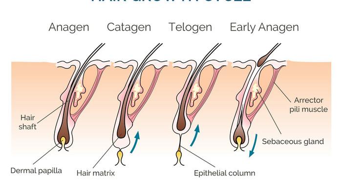 Hair growth cycle vector 8282990